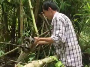 palm civet rescue