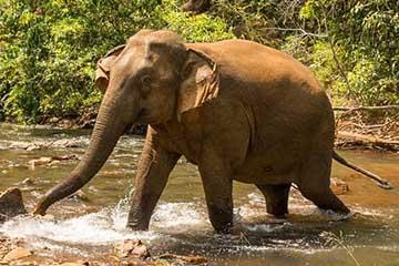 Female ♀ Asian elephant (<em>Elephas maximus</em>) Comvine at Mondulkiri Project Elephant Sanctuary