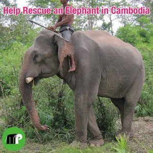 Help Rescue an Elephant in Cambodia