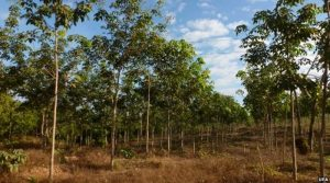 We stopped a rubber plantation