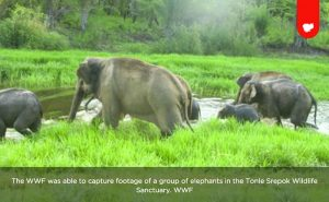 Wild Elephants Spotted in eastern Mondulkiri
